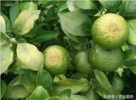 柑橘到底怎麼補鈣? - 每日頭條
