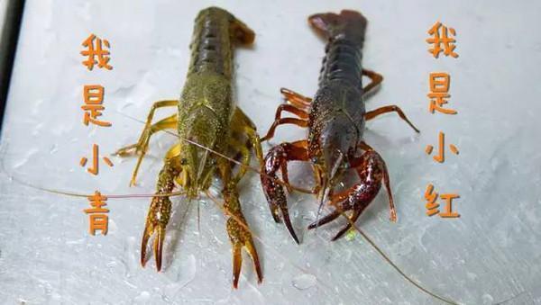 為什麼會有青殼蝦和紅殼蝦之分,難道是兩個品種,怎麼多產青殼蝦 - 每日頭條