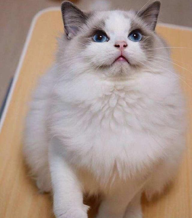 布偶貓的品種 四個品種有怎樣的不同 - 每日頭條