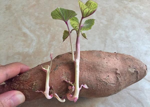 地瓜發芽能吃嗎 吃地瓜的注意事項有哪些 - 每日頭條