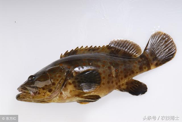 石斑魚怎麼養好?石斑魚的高效養殖技術 - 每日頭條