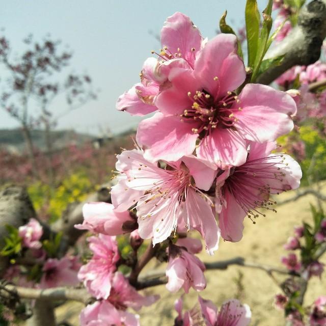 春天開花的樹你知道幾種 - 每日頭條