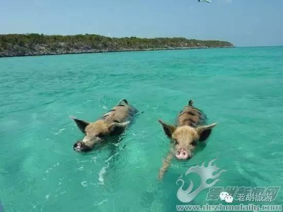 巴哈馬的豬島 .那一群成天到晚游泳的豬! - 每日頭條