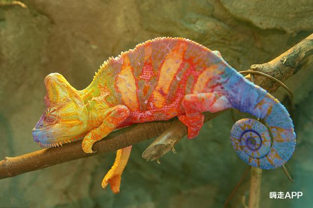 變色龍到底是如何變色的?把變色龍放到水中又會是什麼顏色呢? - 每日頭條