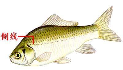 魚兒的身體上有側線有什麼作用? - 每日頭條