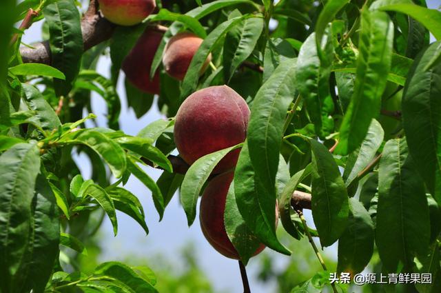 讓一部分「桃粉」先吃。突圍水蜜桃。美美「滋」色。個個「桃」喜 - 每日頭條