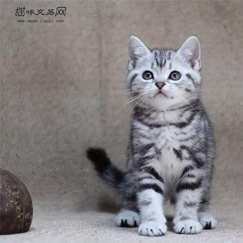 美國短毛貓多少錢一隻?應該怎麼養? - 每日頭條