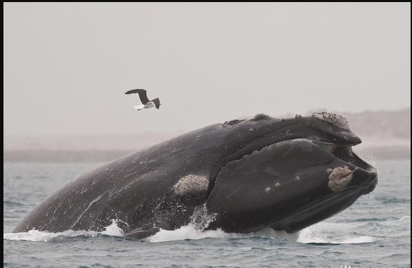 世界自然保護聯盟紅色名錄——南露脊鯨 - 每日頭條