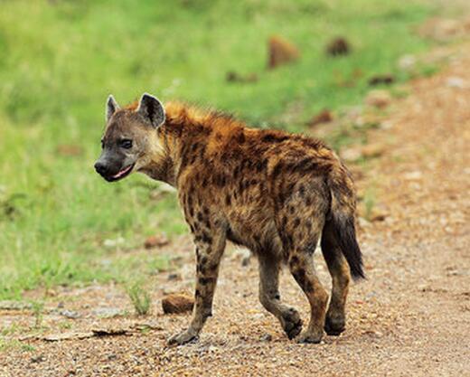 八條比特也干不過一條非洲巨鬣狗,傳聞屬實嗎? - 每日頭條