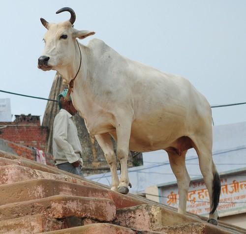 做一隻印度神牛是一種怎樣的體驗 - 每日頭條