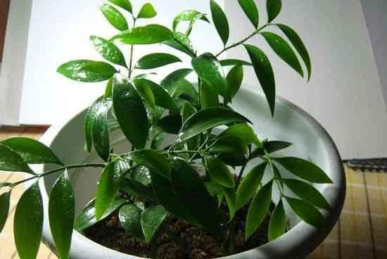 比香水還要香的七種植物。好看驅蚊又凈化空氣。還招財 - 每日頭條