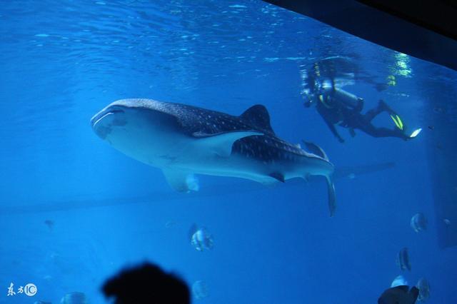 世界上最大的魚類 - 每日頭條