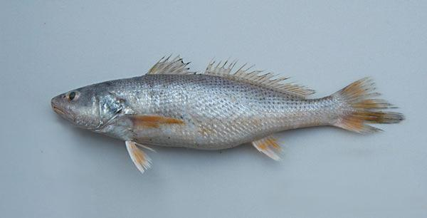 福建漁民釣到28500元一斤的黃唇魚。堪稱人生贏家 - 每日頭條