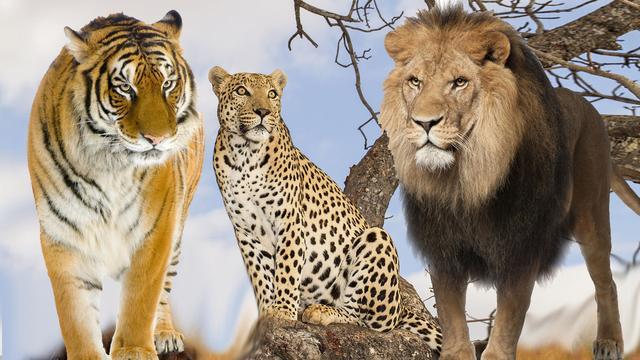 看過了不下百隻獅子老虎豹。關於它們的體型和實力。說點我的看法 - 每日頭條