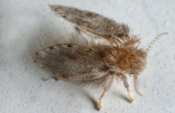 廁所里的小黑蟲,雖無攻擊性,但傳染病毒!用這4招消滅它們! - 每日頭條