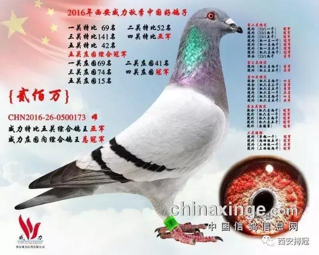 【賽鴿資訊】落槌:內蒙鴿友1.7萬拍走「金蛋」!(圖) - 每日頭條