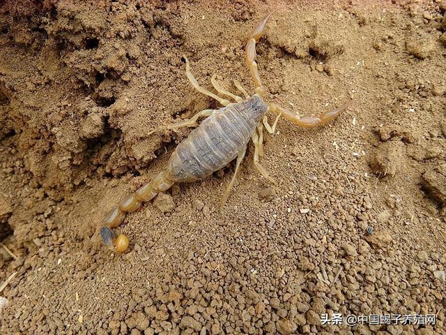 蠍子喜歡吃什麼食物?蠍子養殖關鍵技術分享 - 每日頭條