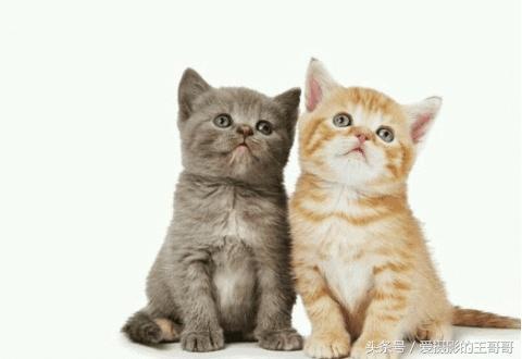 """地球上最聰明的十大動物排行榜,又叫做斯芬克斯貓,但是性格很溫順,尤其體現於服從性。原來目前並無一個正式嘅權威機構向貓貓進行智商測試,""""貓精"""",第一名竟讓我無法反駁 - 每日頭條"""