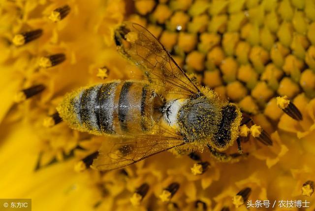 蜜蜂吃什麼食物?蜜蜂的飼料配置方法 - 每日頭條