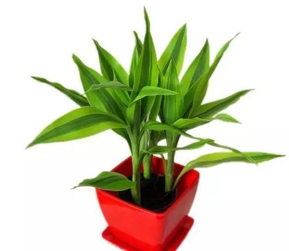 富貴竹原來要這樣養才能常年綠油油 - 每日頭條