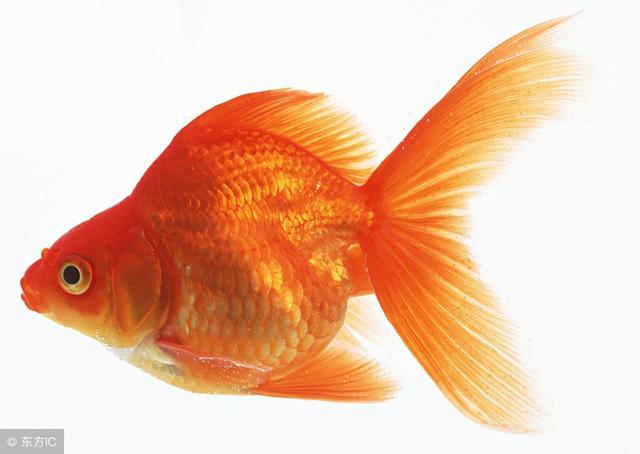 金魚怎麼養 養金魚小常識 養魚數量建議是三、六、七、九 - 每日頭條