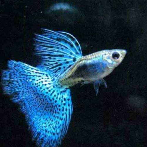 孔雀花鱂:魚美卻無情 - 每日頭條