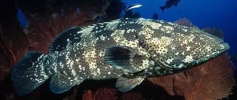13種常見石斑魚品種。連老漁民都認不出。你能認出幾種? - 每日頭條
