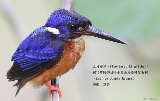 世界上最漂亮的鳥類家族:翠鳥科 - 每日頭條