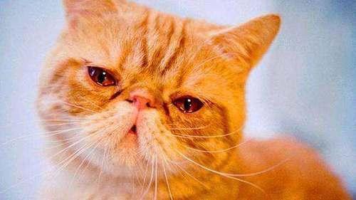 貓咪眼睛老是有黑色分泌物怎麼辦 - 每日頭條