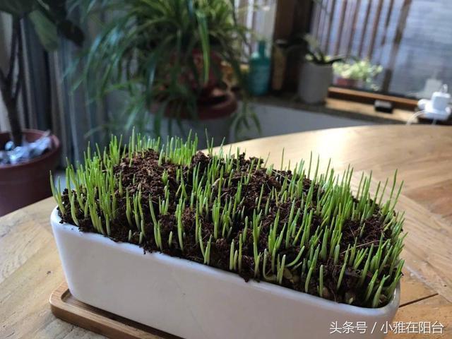 貓草怎麼種?種了一盆。貓咪吃的好開心 - 每日頭條