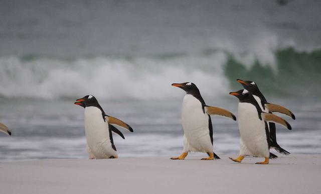 游泳最快和潛水最深的鳥類竟都是企鵝 - 每日頭條
