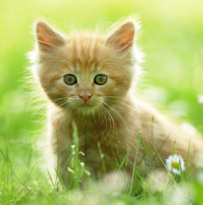 貓怕什麼氣味 非常討厭桔子味 - 每日頭條