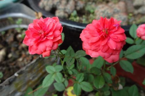 微型月季花的養殖方法和注意事項 - 每日頭條