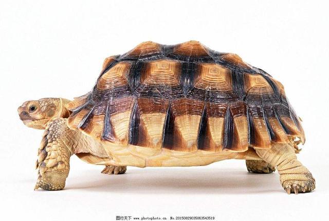 周公解夢——夢到烏龜代表什麼 - 每日頭條
