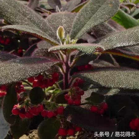 觀果觀葉盆栽:虎舌紅的鑑賞與養護 - 每日頭條
