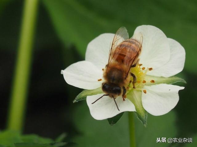 草莓蜜蜂授粉要點!保證草莓花葯開裂授粉的最合理溫度 - 每日頭條