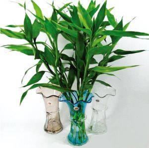 水培富貴竹。要放對地方。大吉大利不說。關鍵還能旺人 - 每日頭條
