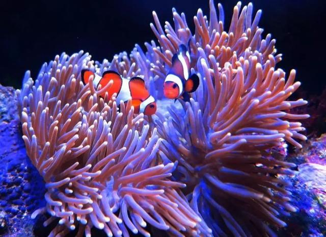 「海水小百科」—公主海葵 - 每日頭條