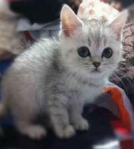 世界貓咪品種介紹-小型貓 - 每日頭條