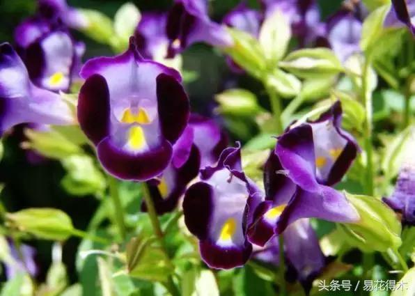 夏日花卉推薦:夏堇的鑑賞與栽培養護 - 每日頭條