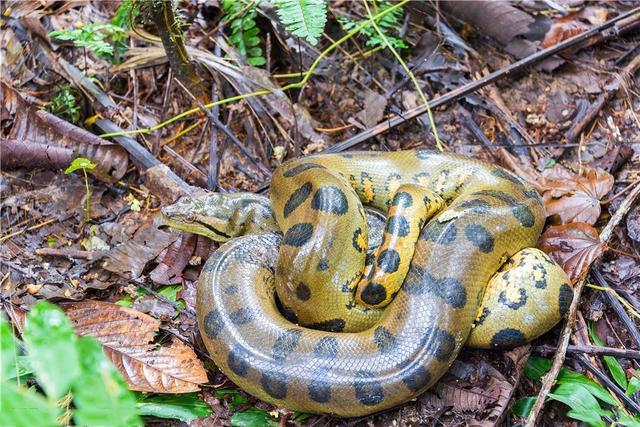 水蚺。是類似水蟒的蛇類。是現存蛇類中體型最大的蛇類長達10米! - 每日頭條