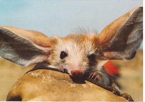 長耳跳鼠:我們就是喜歡在沙漠裡跳來跳去! - 每日頭條