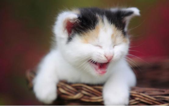 貓鼻支怎麼治療?是感冒嗎?吃什麼藥能治好? - 每日頭條
