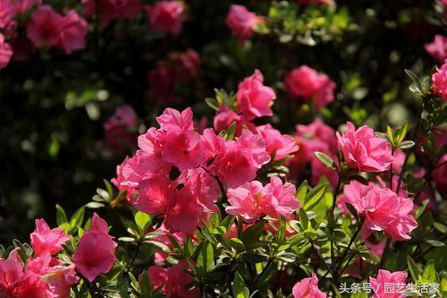 杜鵑花這樣養。不僅開花時間長。花還大又多。老園丁經驗分享 - 每日頭條