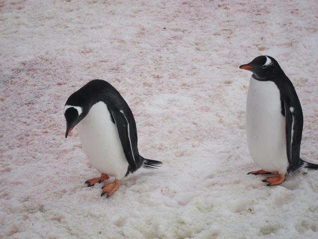 南極企鵝圖片 - 每日頭條