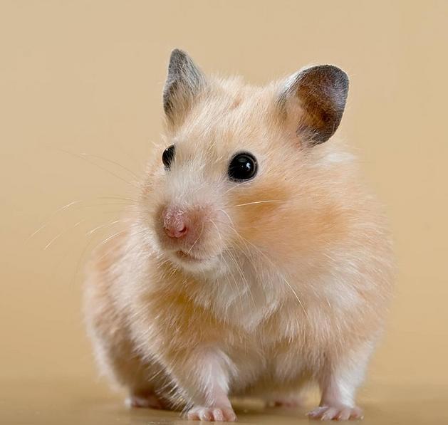 倉鼠,領地意識極強,可以為此啃食同伴,養的人為什麼還很多 - 每日頭條