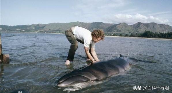 現存體型最小的鬚鯨和齒鯨。一種極為神秘。另一種僅剩不到20頭 - 每日頭條