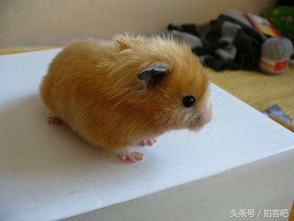 盤點全世界最美的十大倉鼠。簡直萌的一臉血 - 每日頭條