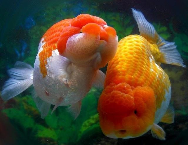 「魚百科」——蘭壽金魚 - 每日頭條