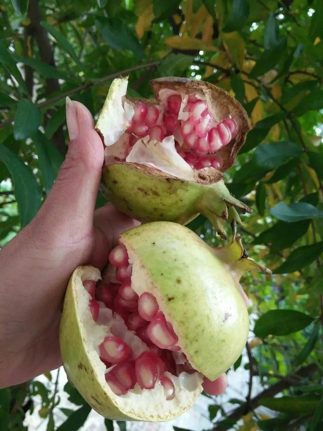 農村自家種的水果。掛在樹上自然熟現摘現吃。圖的就是給孩子新鮮 - 每日頭條